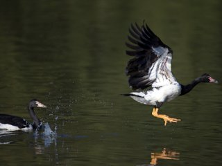 Producers can learn a thing or two from magpie geese, says Ord River farmer Rob Boshammer.
