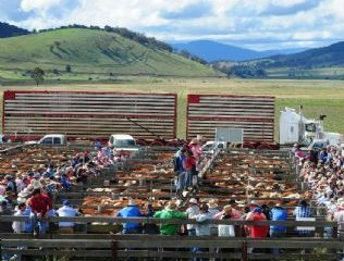 The gradual phase out of livestock transport by rail in Victoria by 1985 was one of the factors that contributed to the growth of O'Sullivans Livestock Transport.