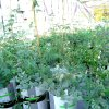The two new legume varieties under greenhouse trial