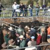 Selling action at the Yea in Victoria, which will host the Upper Goulburn Classic calf sale on Wednesday, January 11 and the Elders Blue Ribbon weaner calf sale on Friday, January 13. Picture: Murrundindi Shire Council