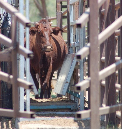 remote-weighing-cattle