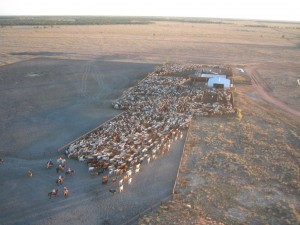Loading cattle on AA Co's Canobie Station in northwest Qld