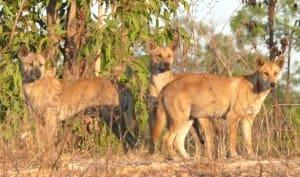 dingoes wild dogs 2 - Copy