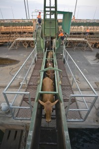 Cattle loading at East Arm Wharf in Darwin.