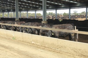 Part of the extensive permanent shedding infrastructure used at Tasmania feedlot