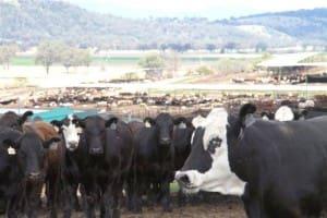 Killara feedlot cattle