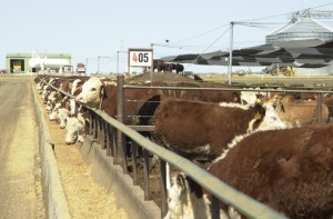 Myola feedlot