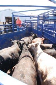 Sandalwood feedlot cattle handling area
