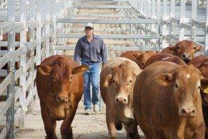 Cattle saleyard