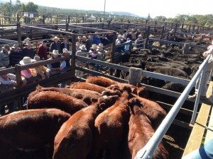 Record Shorthorn weaners Walcha sale saleyards