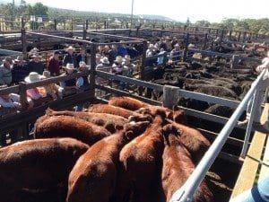 Record Shorthorn weaners Walcha sale saleyards