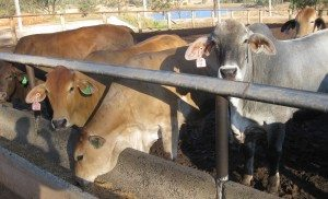 Trial steers on feed at Smithfield Feedlot at Proston.