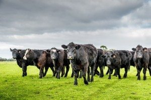 grassfed cattle southern Angus