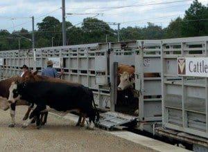 Cattle train 2