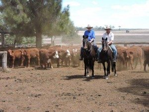 David and Scott White with a run of young Santa and Santa cross steers that were offered as part of Moocoorooba's 1200 head herd dispersal following the sale of the property. The cattle were sold over four weeks on Auction Plus, averaging more than $1000 a head.