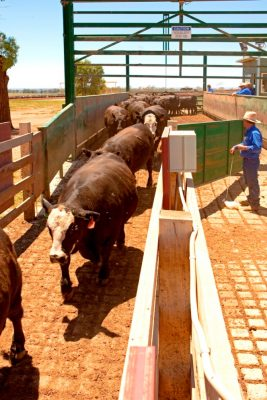 feedlot-cattle