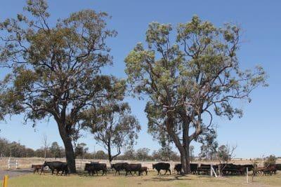 Cows calves walking under trees