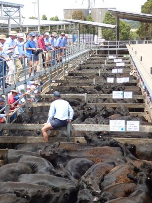 JM Ellis auctioneer Jack Hickey opens Hamilton's first 2017 weaner sale, selling Angus steers for 360-383c/kg or $1459-$1604 a head.