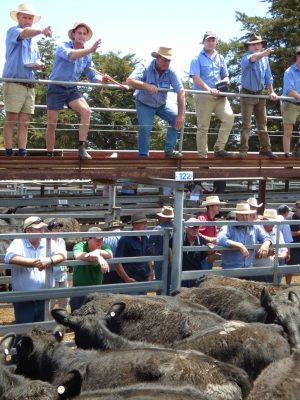 Kerr and Co Livestock auctioneer Zac Van Wegen sells Raheen's 24 288kg Angus steers for 427 cents a kg or $1230 at Hamilton. (1)