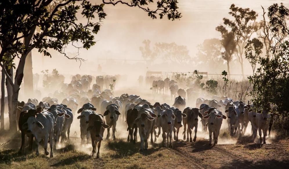 Shifting cattle between cells on Manbulloo