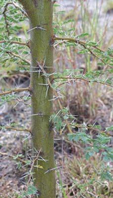 prickly acacia image